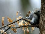 gray-squirrel_5884_600x450 copy